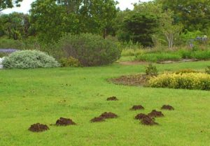 molerat_mounds